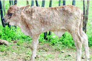 οζώδης δερματίτιδα των βοοειδών