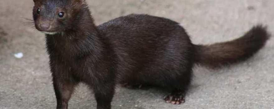 Γουνοφόρα ζώα mink